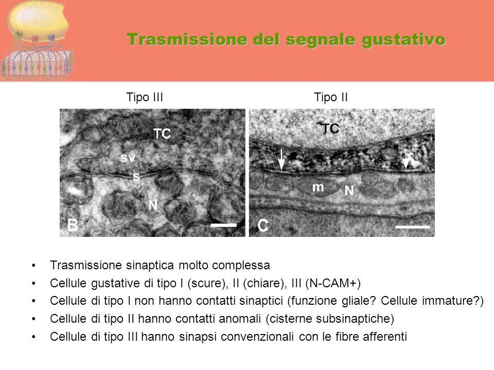 Trasmissione del segnale gustativo Trasmissione sinaptica molto complessa Cellule gustative di tipo I (scure), II (chiare), III (N-CAM+) Cellule di ti