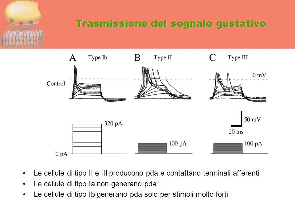 Trasmissione del segnale gustativo Le cellule di tipo II e III producono pda e contattano terminali afferenti Le cellule di tipo Ia non generano pda L