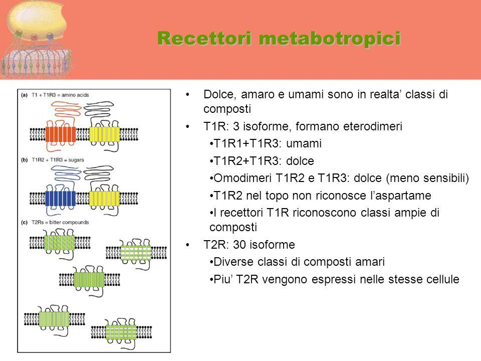 Recettori metabotropici Dolce, amaro e umami sono in realta' classi di composti T1R: 3 isoforme, formano eterodimeri T1R1+T1R3: umami T1R2+T1R3: dolce