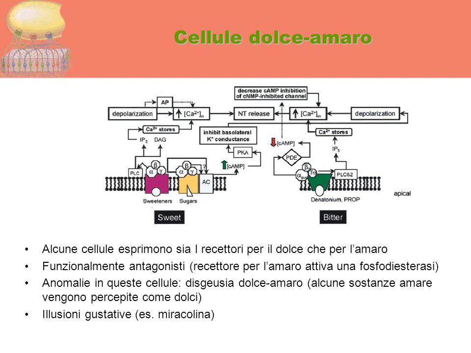 Cellule dolce-amaro Alcune cellule esprimono sia I recettori per il dolce che per l'amaro Funzionalmente antagonisti (recettore per l'amaro attiva una