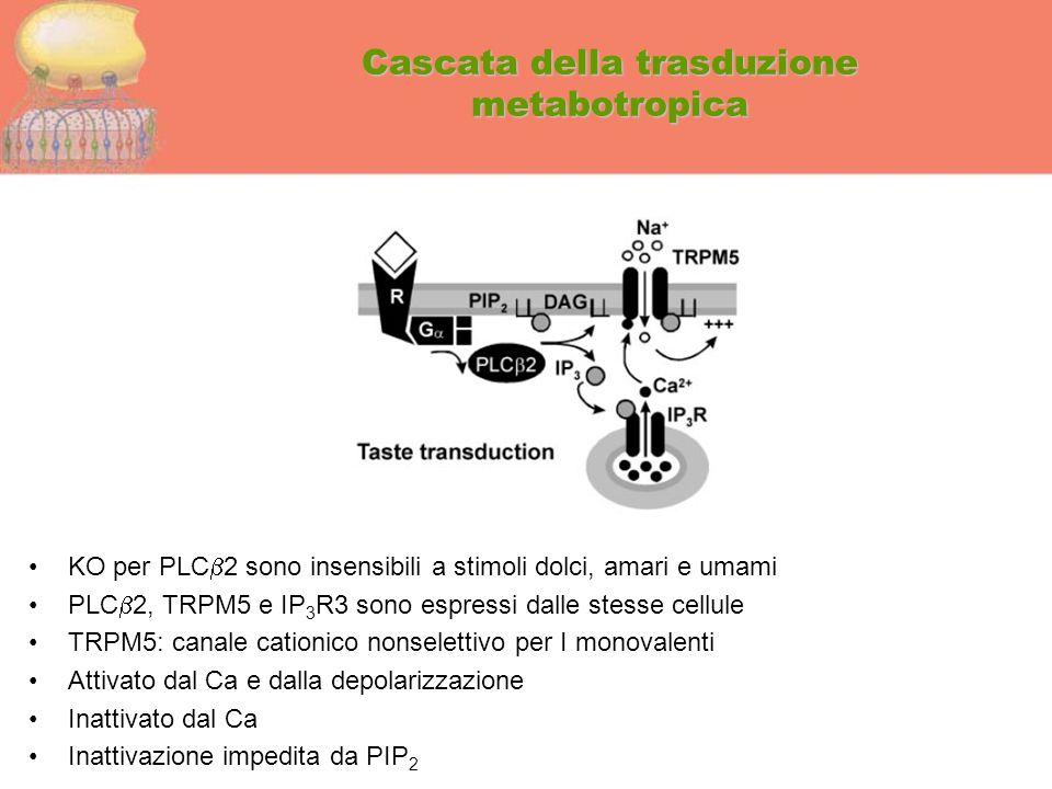 Cascata della trasduzione metabotropica KO per PLC  2 sono insensibili a stimoli dolci, amari e umami PLC  2, TRPM5 e IP 3 R3 sono espressi dalle st