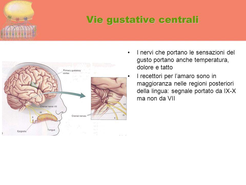 Vie gustative centrali I nervi che portano le sensazioni del gusto portano anche temperatura, dolore e tatto I recettori per l'amaro sono in maggioran