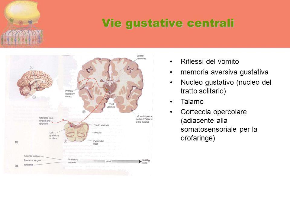 Vie gustative centrali Riflessi del vomito memoria aversiva gustativa Nucleo gustativo (nucleo del tratto solitario) Talamo Corteccia opercolare (adia