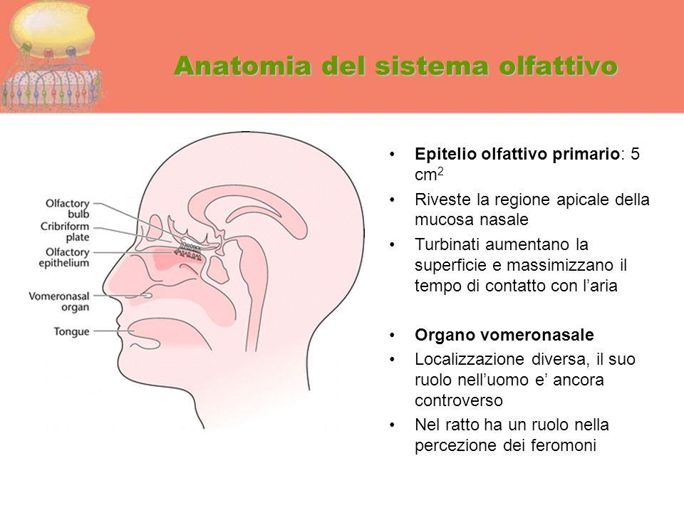 Anatomia del sistema olfattivo Epitelio olfattivo primario: 5 cm 2 Riveste la regione apicale della mucosa nasale Turbinati aumentano la superficie e