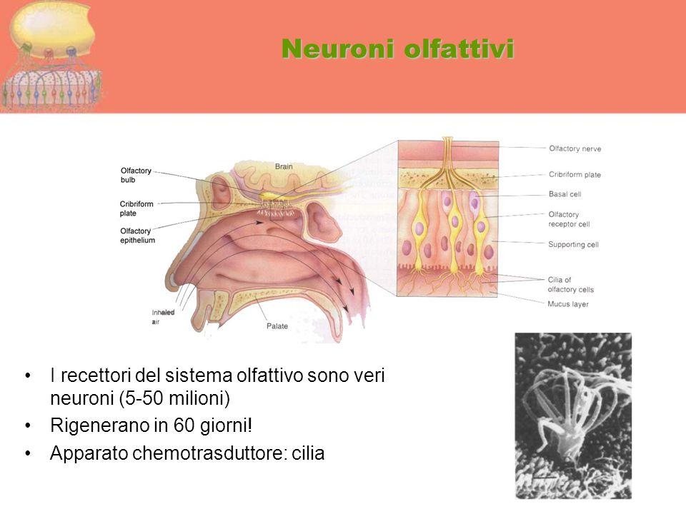 Neuroni olfattivi I recettori del sistema olfattivo sono veri neuroni (5-50 milioni) Rigenerano in 60 giorni! Apparato chemotrasduttore: cilia