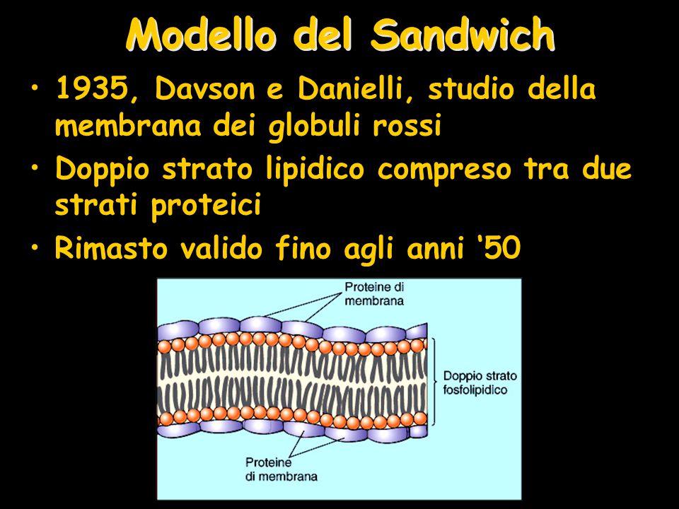 Modello del Sandwich 1935, Davson e Danielli, studio della membrana dei globuli rossi Doppio strato lipidico compreso tra due strati proteici Rimasto