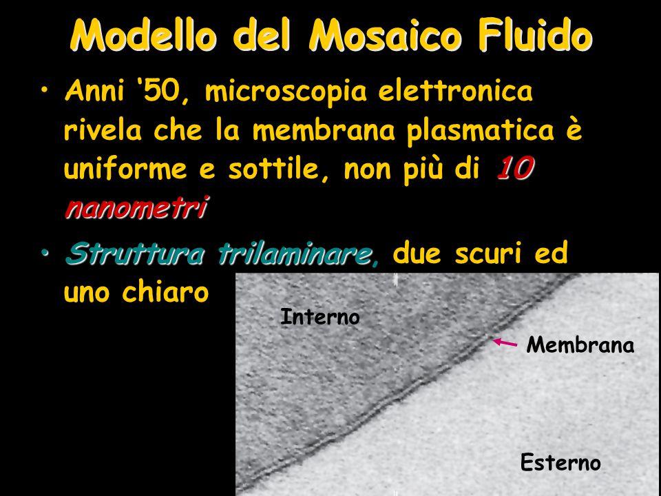 Modello del Mosaico Fluido 10 nanometriAnni '50, microscopia elettronica rivela che la membrana plasmatica è uniforme e sottile, non più di 10 nanomet