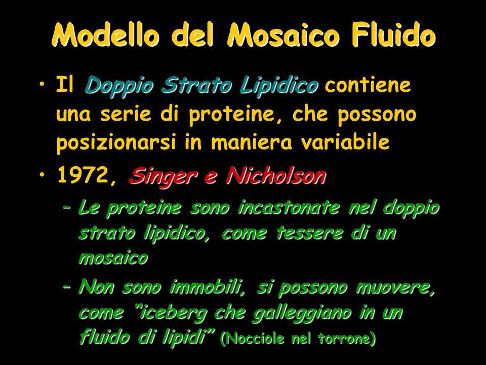 Modello del Mosaico Fluido Doppio Strato LipidicoIl Doppio Strato Lipidico contiene una serie di proteine, che possono posizionarsi in maniera variabi