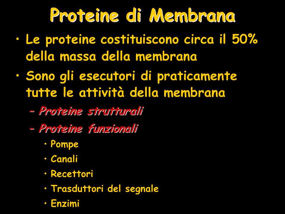 Proteine di Membrana Le proteine costituiscono circa il 50% della massa della membrana Sono gli esecutori di praticamente tutte le attività della memb