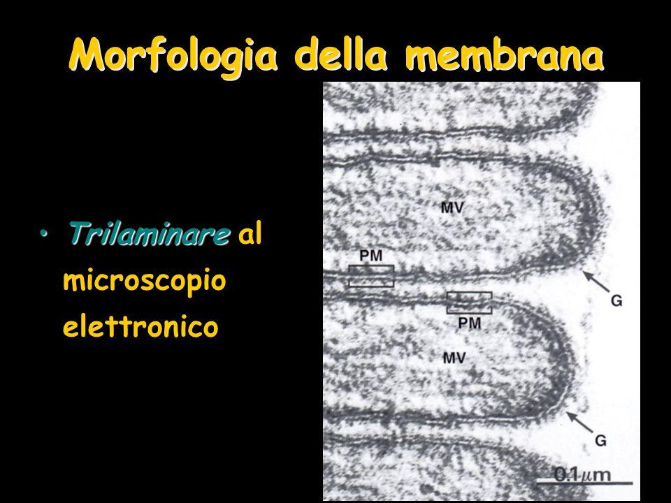 Morfologia della membrana TrilaminareTrilaminare al microscopio elettronico