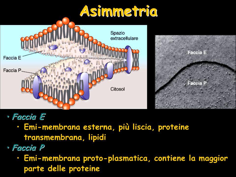 Asimmetria Faccia EFaccia E Emi-membrana esterna, più liscia, proteine transmembrana, lipidi Faccia PFaccia P Emi-membrana proto-plasmatica, contiene