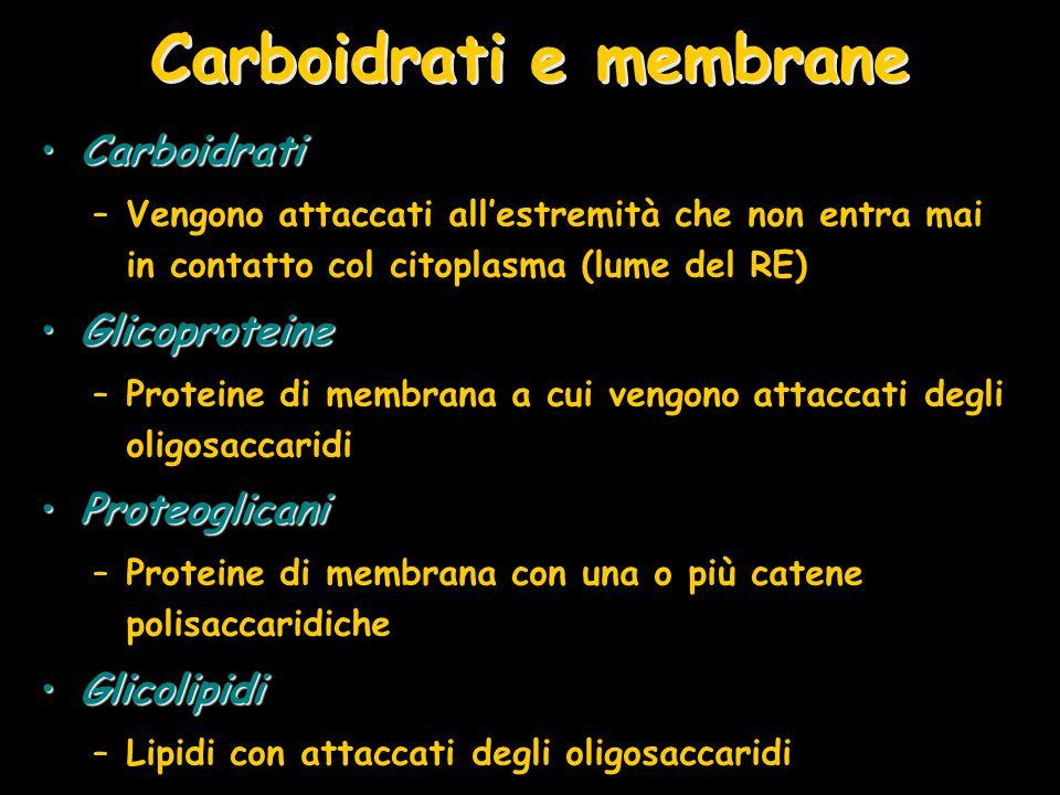 Carboidrati e membrane CarboidratiCarboidrati –Vengono attaccati all'estremità che non entra mai in contatto col citoplasma (lume del RE) Glicoprotein