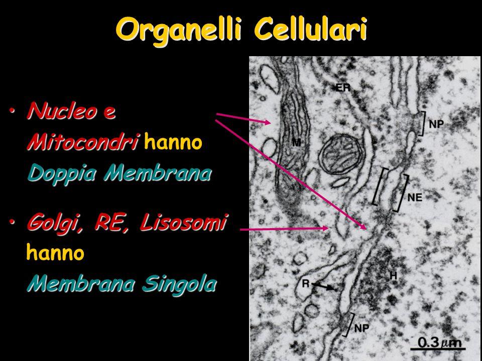 Organelli Cellulari Nucleo e Mitocondri Doppia MembranaNucleo e Mitocondri hanno Doppia Membrana Golgi, RE, Lisosomi Membrana SingolaGolgi, RE, Lisoso