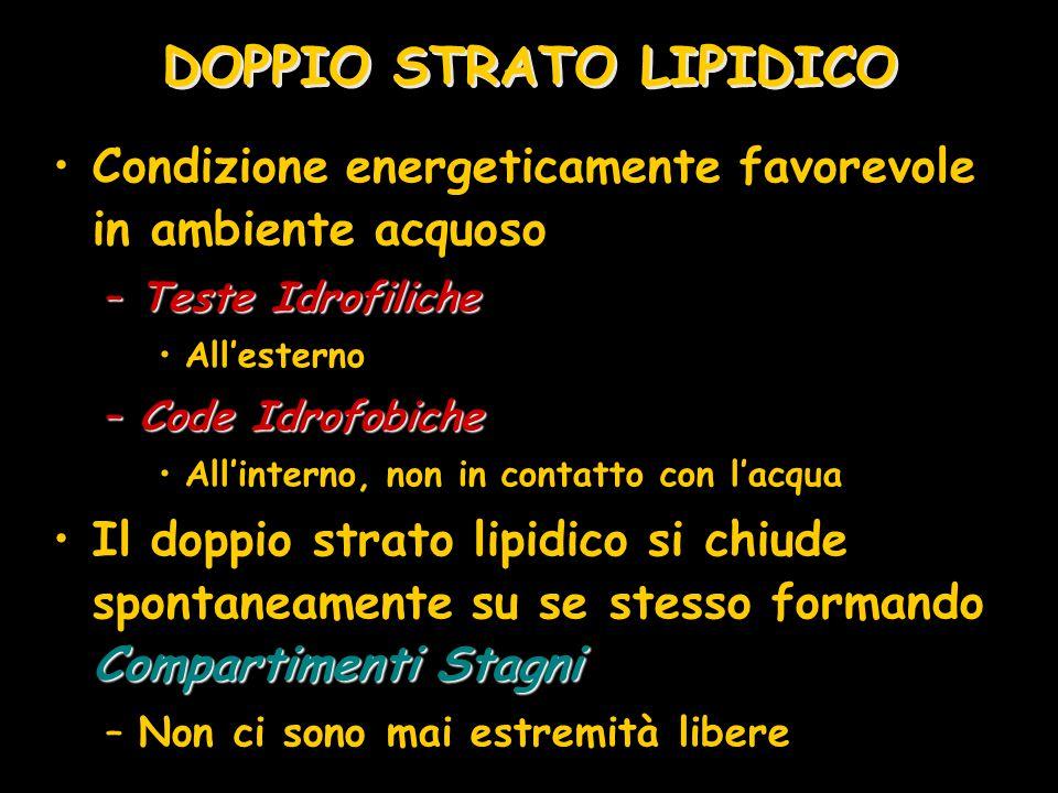 DOPPIO STRATO LIPIDICO Condizione energeticamente favorevole in ambiente acquoso –Teste Idrofiliche All'esterno –Code Idrofobiche All'interno, non in
