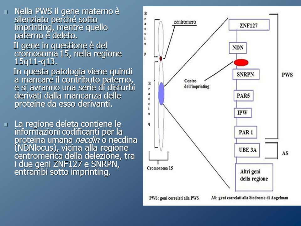 Nella PWS il gene materno è silenziato perché sotto imprinting, mentre quello paterno è deleto.
