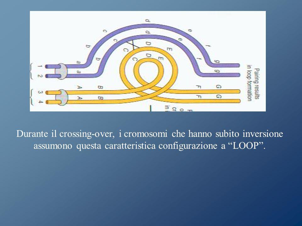 Durante il crossing-over, i cromosomi che hanno subito inversione assumono questa caratteristica configurazione a LOOP .