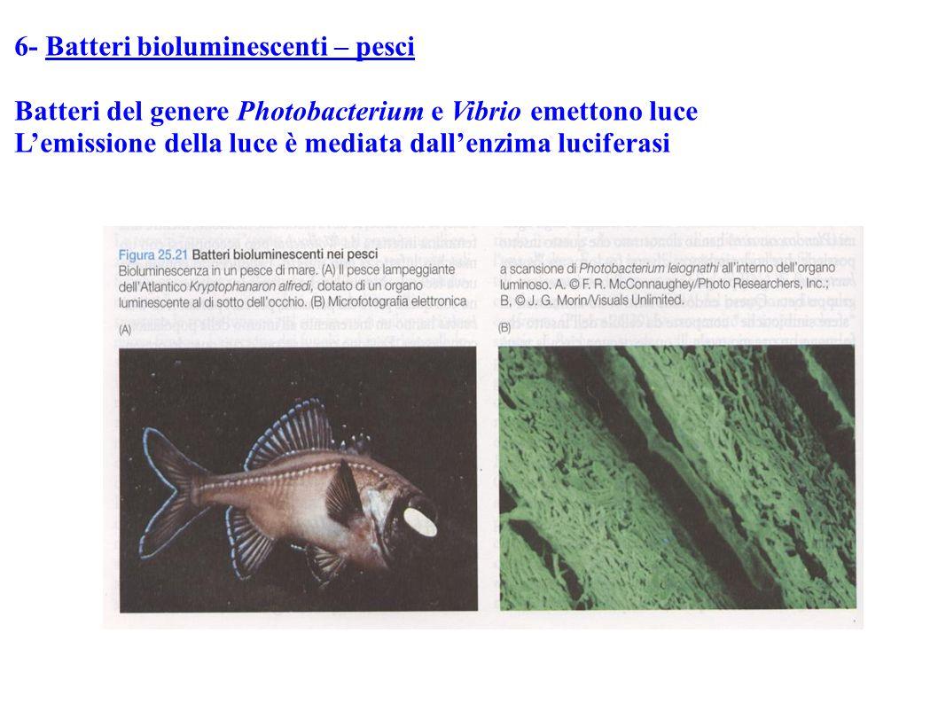 6- Batteri bioluminescenti – pesci Batteri del genere Photobacterium e Vibrio emettono luce L'emissione della luce è mediata dall'enzima luciferasi