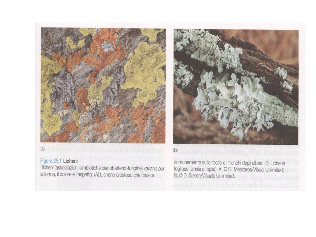 4- Microbi – invertebrati A-Alghe e invertebrati acquatici alghe simbiotiche di: celenterati: meduse, coralli, anemoni di mare platelminti poriferi (spugne) molluschi (bivalvi, calamari) Es.