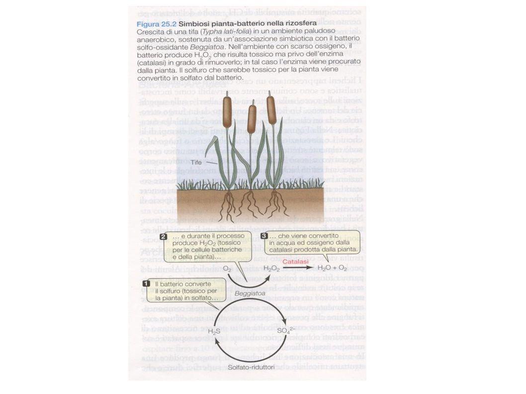 2- Batteri azoto fissatori - leguminose A- Rhizobium, Bradyrhizobium La zona interna dei noduli è rossa per la presenza di legemoglobina ↓ - lega l'ossigeno per la respirazione - limita l ossigeno a livelli che non inattivano la nitrogenasi (enzima che fissa l azoto- trasforma N 2 in NH 3 )