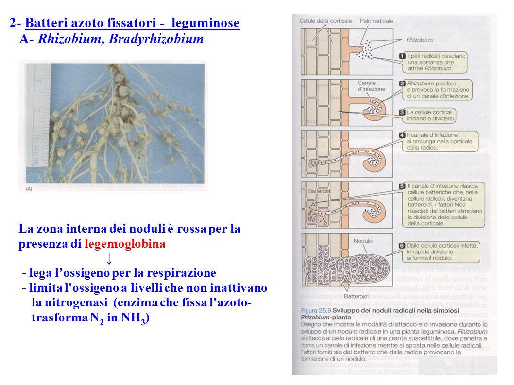 2- Batteri azoto fissatori - leguminose A- Rhizobium, Bradyrhizobium La zona interna dei noduli è rossa per la presenza di legemoglobina ↓ - lega l'os