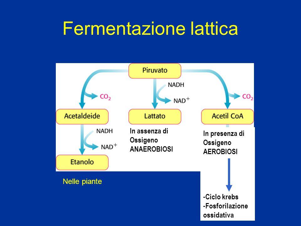 Fermentazione lattica In assenza di Ossigeno ANAEROBIOSI In presenza di Ossigeno AEROBIOSI -Ciclo krebs -Fosforilazione ossidativa Nelle piante