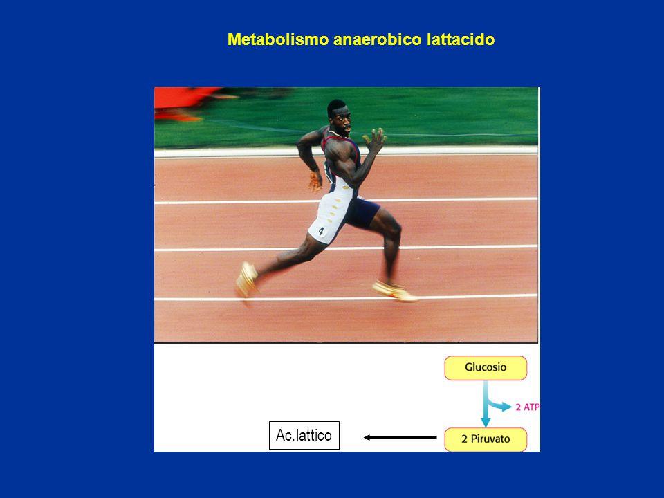 Metabolismo anaerobico lattacido Ac.lattico