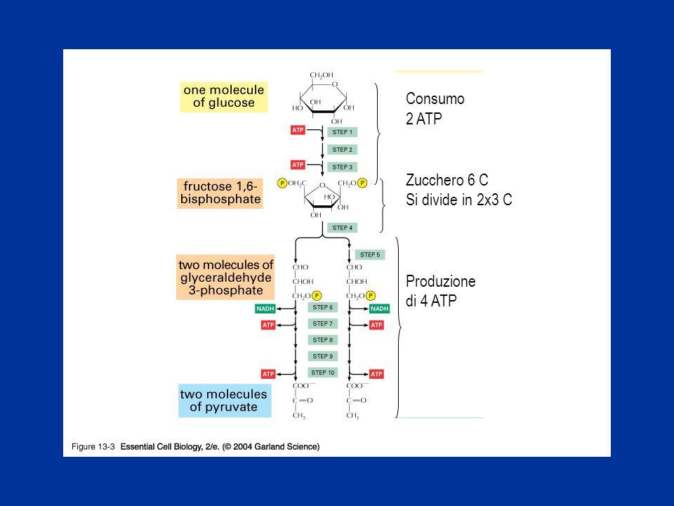 Consumo 2 ATP Zucchero 6 C Si divide in 2x3 C Produzione di 4 ATP