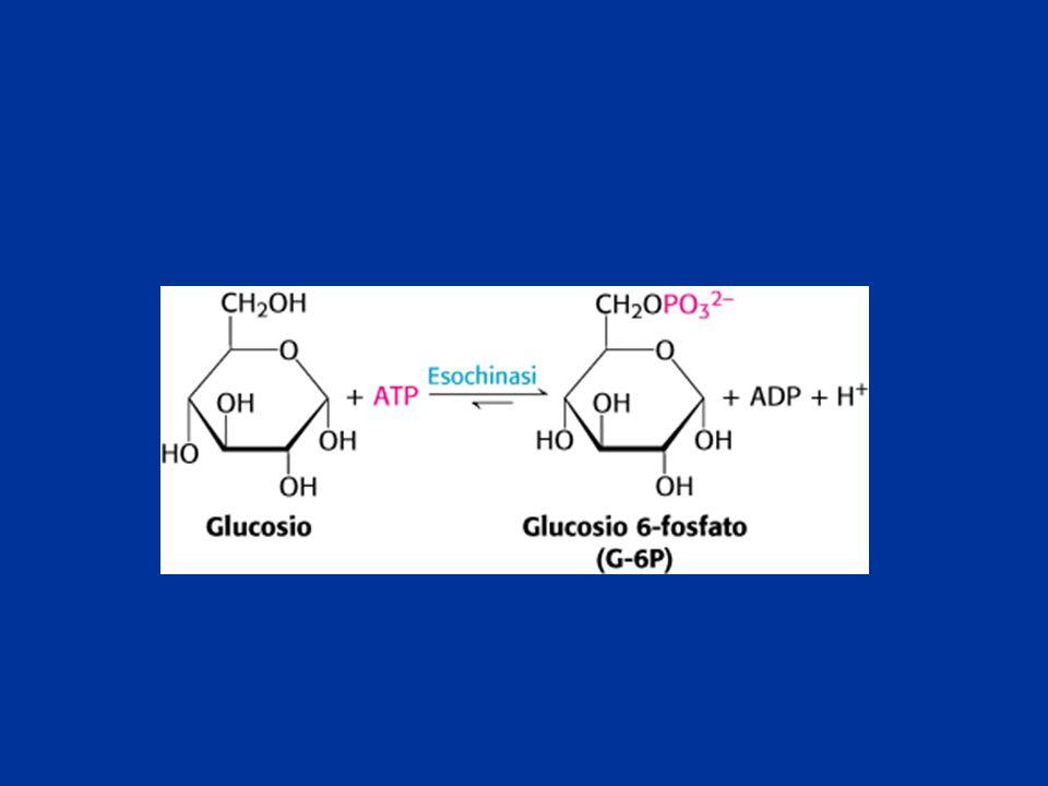 Importante nei diabetici e nei lunghi digiuni  costa 6 ATP  Aumenta durante l'esercizio fisico, energia per muscoli e cuore  Sotto-controllo ormonale; cortisolo e glucagone (No nel muscolo)