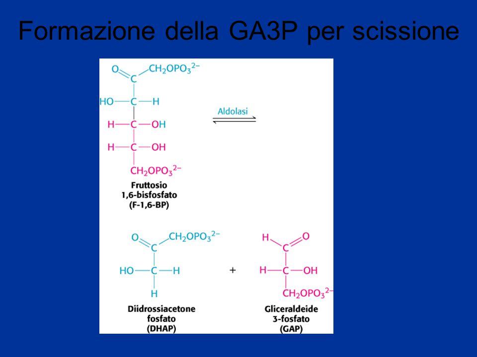 Formazione della GA3P per scissione