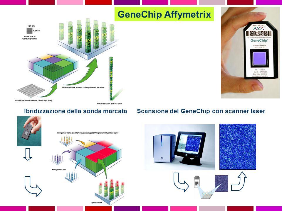 GeneChip Affymetrix Ibridizzazione della sonda marcataScansione del GeneChip con scanner laser