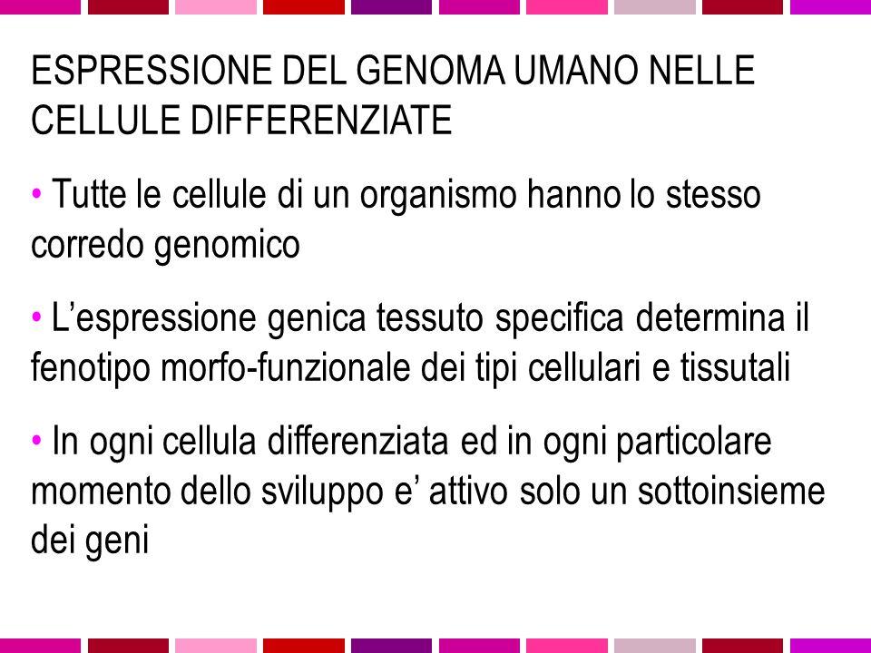 ESPRESSIONE DEL GENOMA UMANO NELLE CELLULE DIFFERENZIATE Tutte le cellule di un organismo hanno lo stesso corredo genomico L'espressione genica tessut