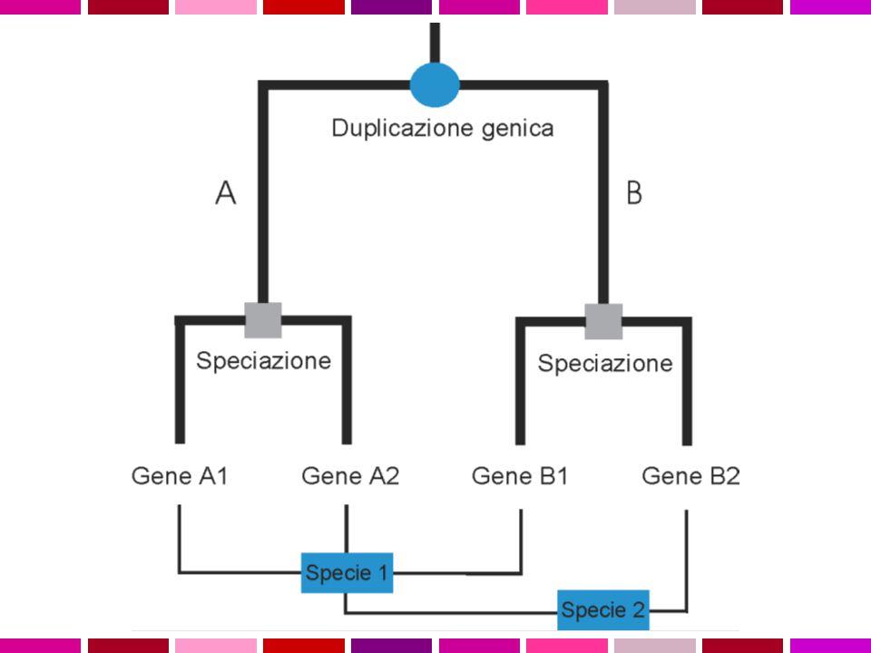 OMOLOGIA E OMOPLASIA Omologia similarita' dovuta a derivazione dallo stesso antenato comune Omoplasia similarita' dovuta a convergenza, stessa pressione selettiva su due linee evolutive puo' condurre a caratteri simili ORTOLOGIA E PARALOGIA OMOLOGIA ANTENATO COMUNE ORTOLOGIAPARALOGIA PROCESSO DI SPECIAZIONEDUPLICAZIONE GENICA Descrivo le relazioni tra geni di una famiglia intraorganismo (paralogia) o tra diversi organismi (ortologia )