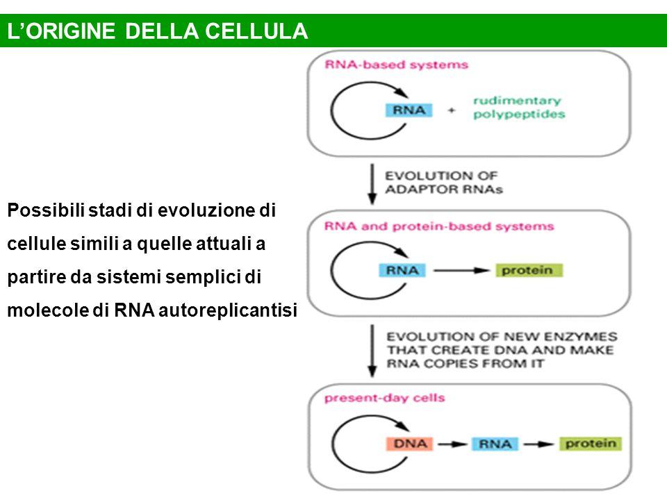 Possibili stadi di evoluzione di cellule simili a quelle attuali a partire da sistemi semplici di molecole di RNA autoreplicantisi L'ORIGINE DELLA CEL
