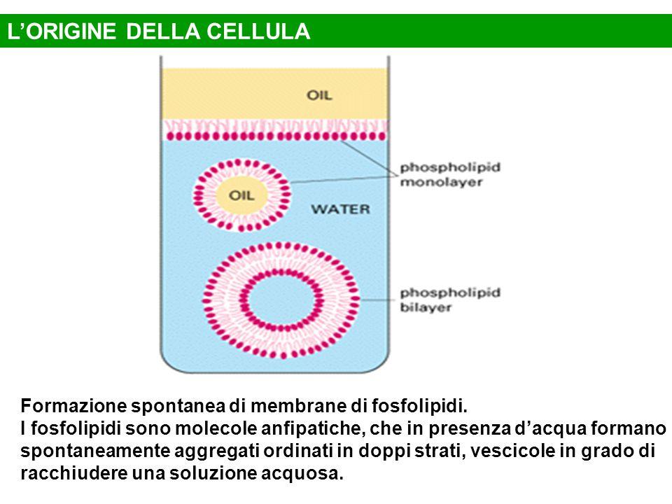 Formazione spontanea di membrane di fosfolipidi. I fosfolipidi sono molecole anfipatiche, che in presenza d'acqua formano spontaneamente aggregati ord