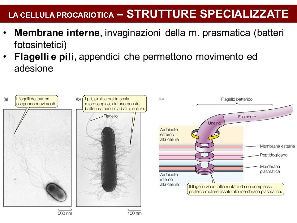 LA CELLULA PROCARIOTICA – STRUTTURE SPECIALIZZATE Membrane interne, invaginazioni della m. prasmatica (batteri fotosintetici) Flagelli e pili, appendi