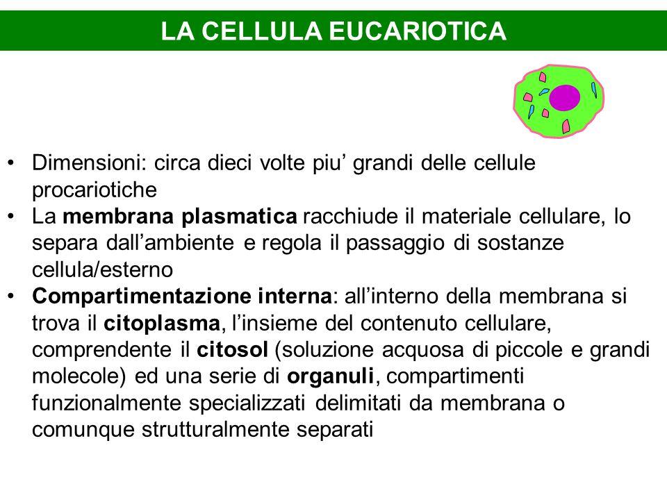 LA CELLULA EUCARIOTICA Dimensioni: circa dieci volte piu' grandi delle cellule procariotiche La membrana plasmatica racchiude il materiale cellulare,