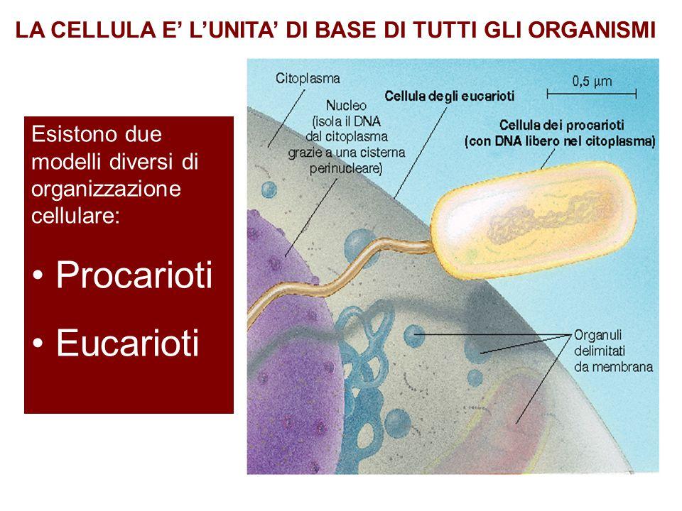 Esistono due modelli diversi di organizzazione cellulare: Procarioti Eucarioti LA CELLULA E' L'UNITA' DI BASE DI TUTTI GLI ORGANISMI
