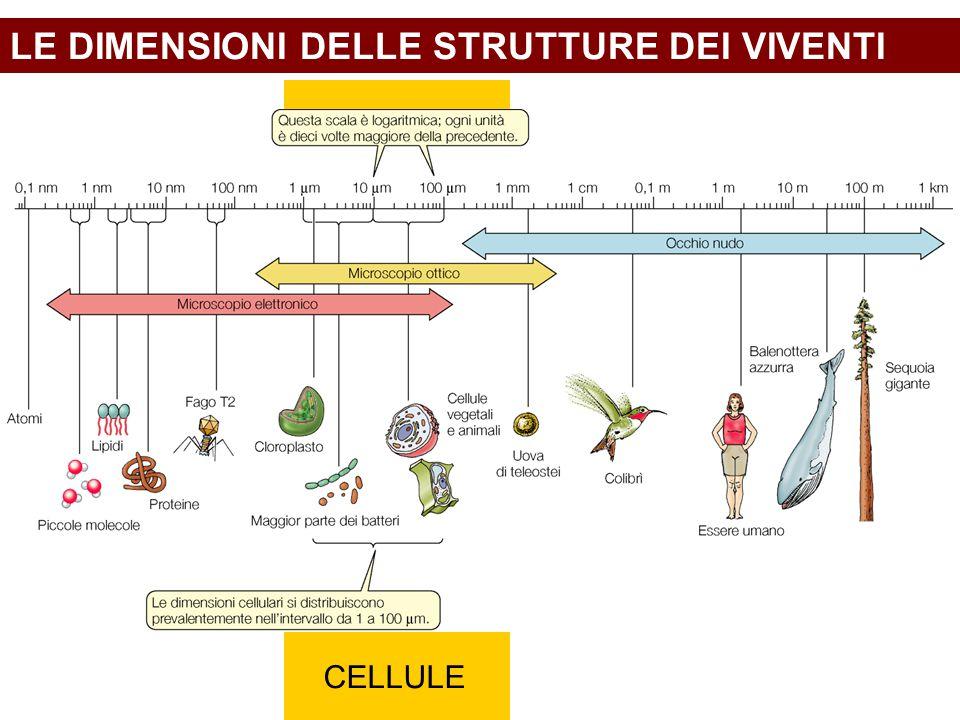 LE DIMENSIONI DELLE STRUTTURE DEI VIVENTI CELLULE