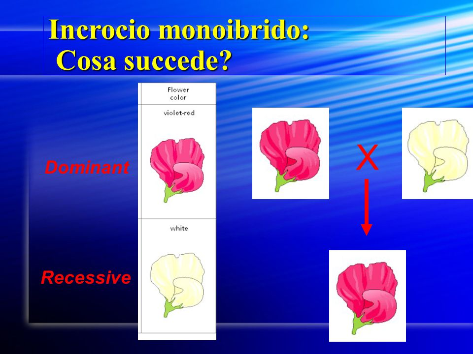 Incrocio monoibrido: Cosa succede? ? X Dominant Recessive
