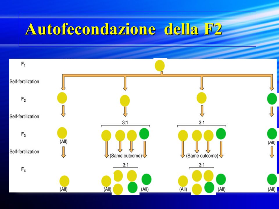 Autofecondazione della F2 Autofecondazione della F2