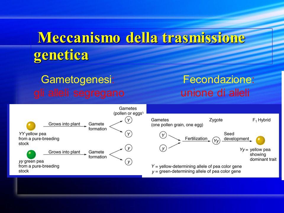 Meccanismo della trasmissione genetica Meccanismo della trasmissione genetica Fecondazione: unione di alleli Gametogenesi: gli alleli segregano