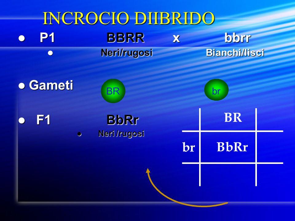 INCROCIO DIIBRIDO P1BBRR xbbrr P1BBRR xbbrr Neri/rugosi Bianchi/lisci Neri/rugosi Bianchi/lisci Gameti Gameti F1BbRr F1BbRr Neri /rugosi Neri /rugosi