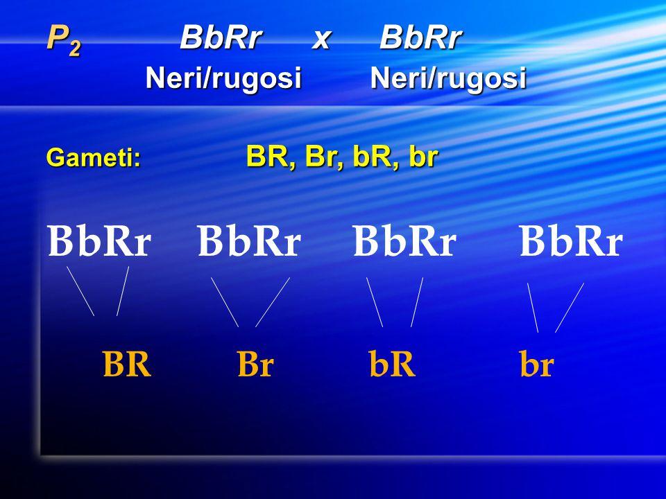 P 2 BbRrxBbRr Neri/rugosi Neri/rugosi Neri/rugosi Neri/rugosi Gameti: BR, Br, bR, br BbRr BR Br bR br