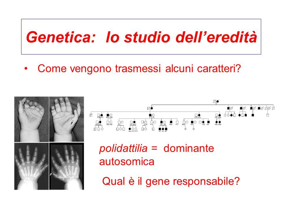 Genetica: lo studio dell'eredità Come vengono trasmessi alcuni caratteri? polidattilia = dominante autosomica Qual è il gene responsabile?