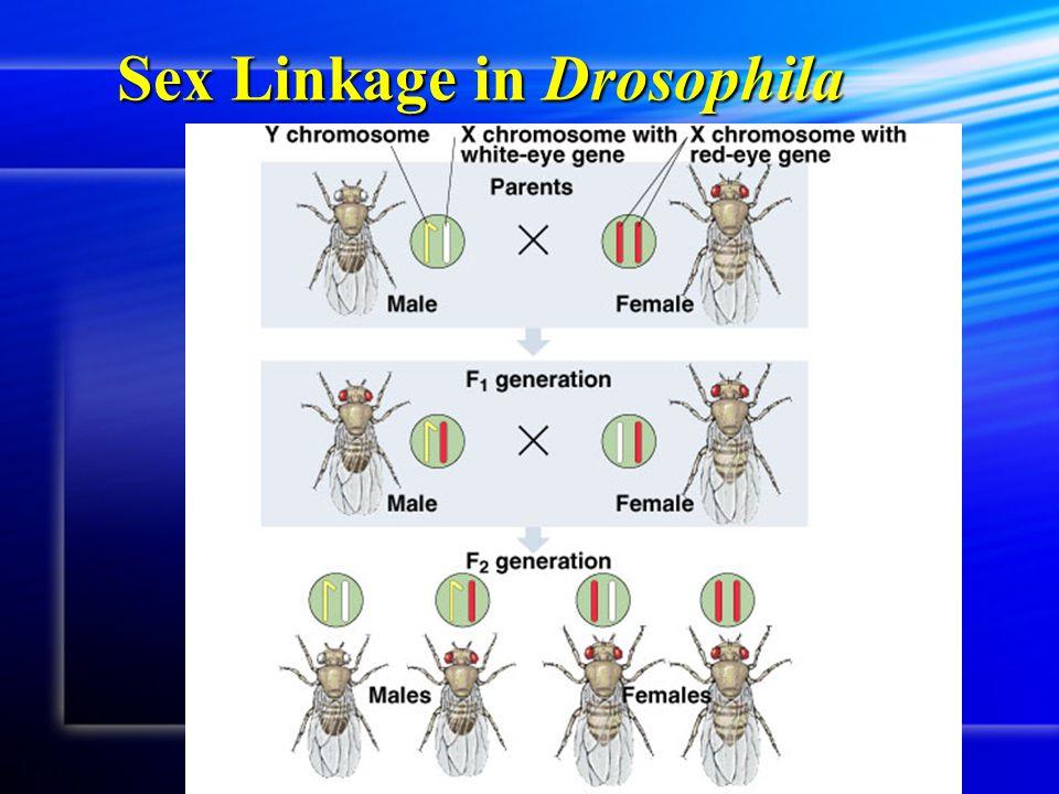Sex Linkage in Drosophila