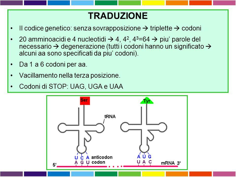 TRADUZIONE Il codice genetico: senza sovrapposizione  triplette  codoni 20 amminoacidi e 4 nucleotidi  4, 4 2, 4 3 =64  piu' parole del necessario