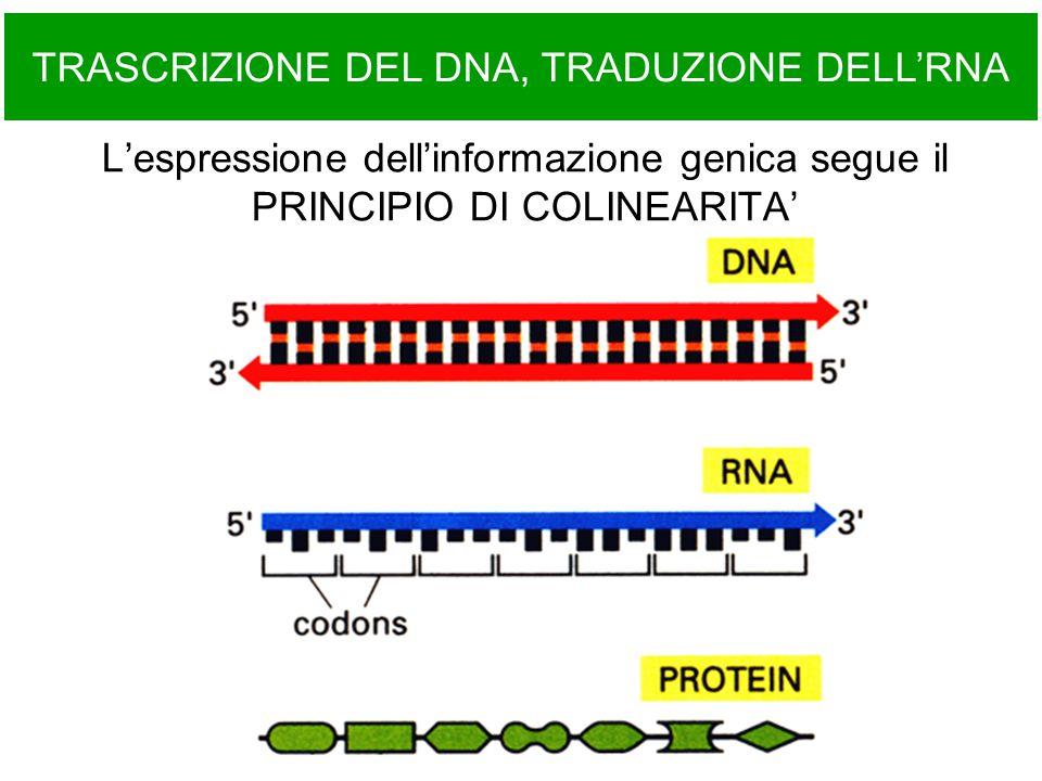 L'espressione dell'informazione genica segue il PRINCIPIO DI COLINEARITA' TRASCRIZIONE DEL DNA, TRADUZIONE DELL'RNA
