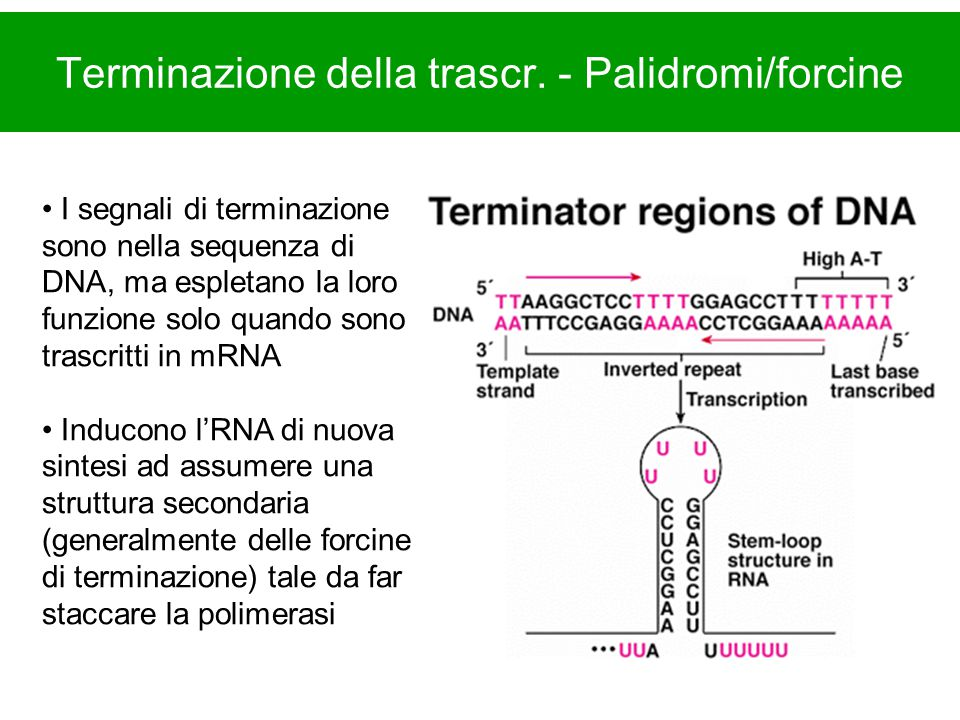 Terminazione della trascr. - Palidromi/forcine I segnali di terminazione sono nella sequenza di DNA, ma espletano la loro funzione solo quando sono tr