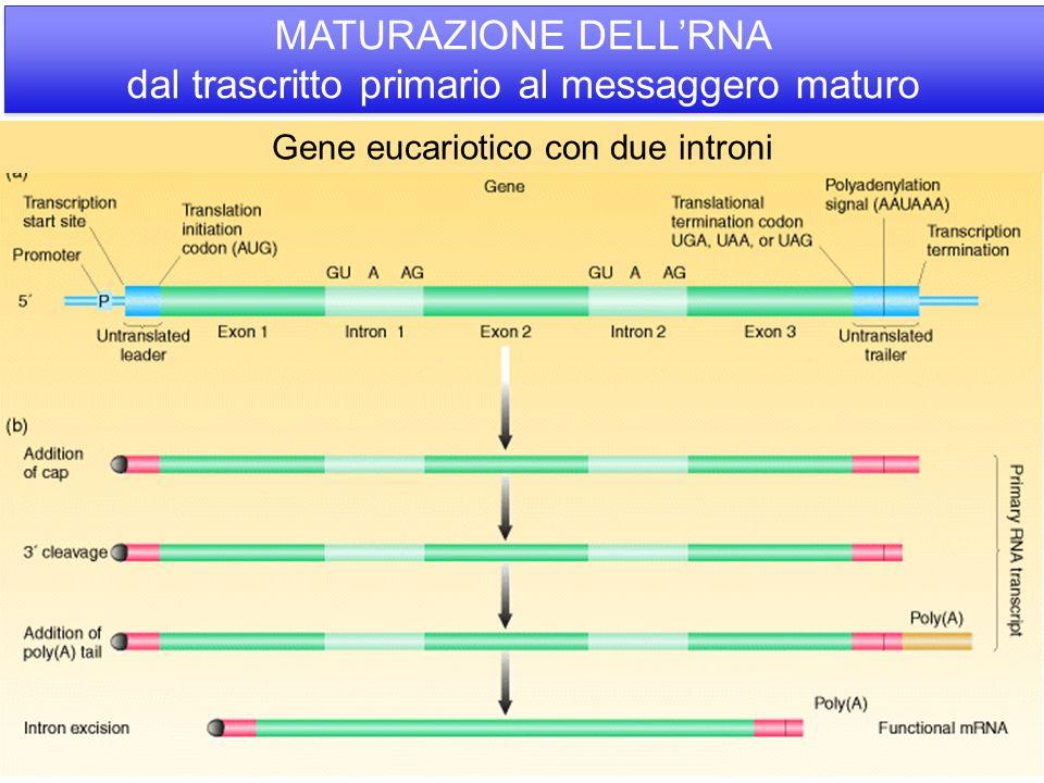 MATURAZIONE DELL'RNA dal trascritto primario al messaggero maturo Gene eucariotico con due introni