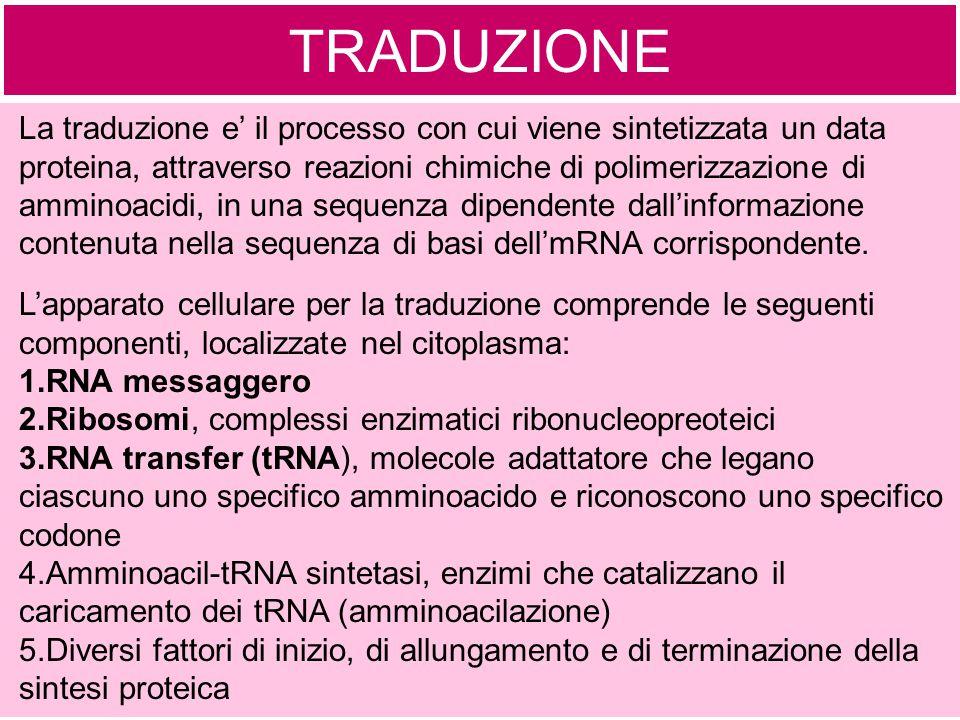 TRADUZIONE La traduzione e' il processo con cui viene sintetizzata un data proteina, attraverso reazioni chimiche di polimerizzazione di amminoacidi,